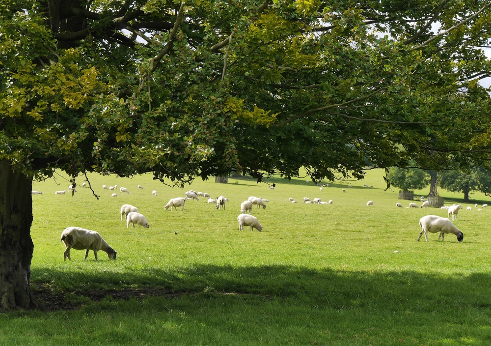 Sheep farming: how planting trees can help your business blossom