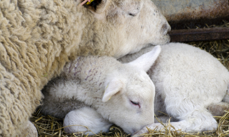 Improving hygiene in the lambing shed