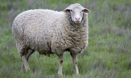 Countdown to lambing: Management of the ewe