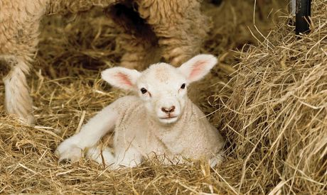 Bedding options for the lambing sheds