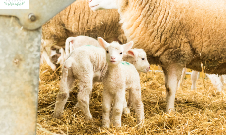Managing surplus lambs