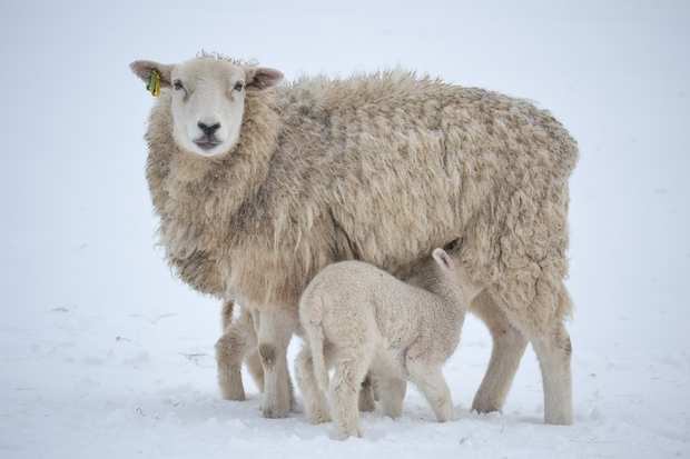 Tips to ensure ewe and lamb survival in bad weather