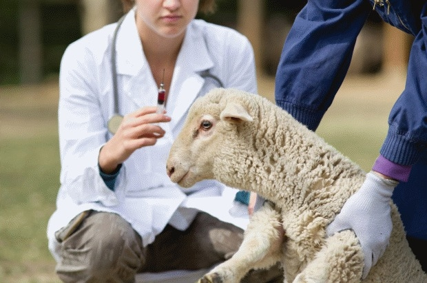 Study reveals urgent need for pre-tupping vaccination