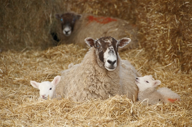 Shepherds missing a stress-free profit opportunity